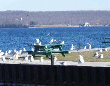 Jackson Harbor Seagulls