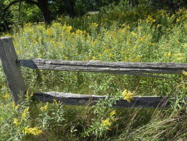 Goldenrod Fence Line