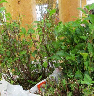 Indigo-plants