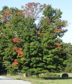 Maple-tree-on-Jackson-Harbor-Road