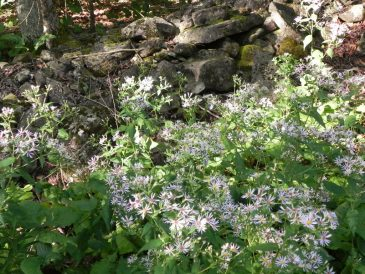 Little Lake Wild Asters