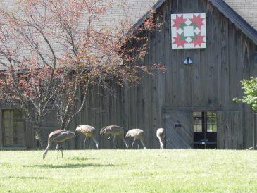 Sandhill Cranes with Barn