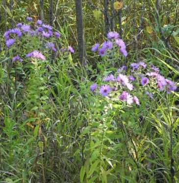 Wild Asters3